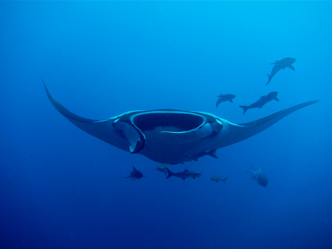 Manta Ray at Koh Bon