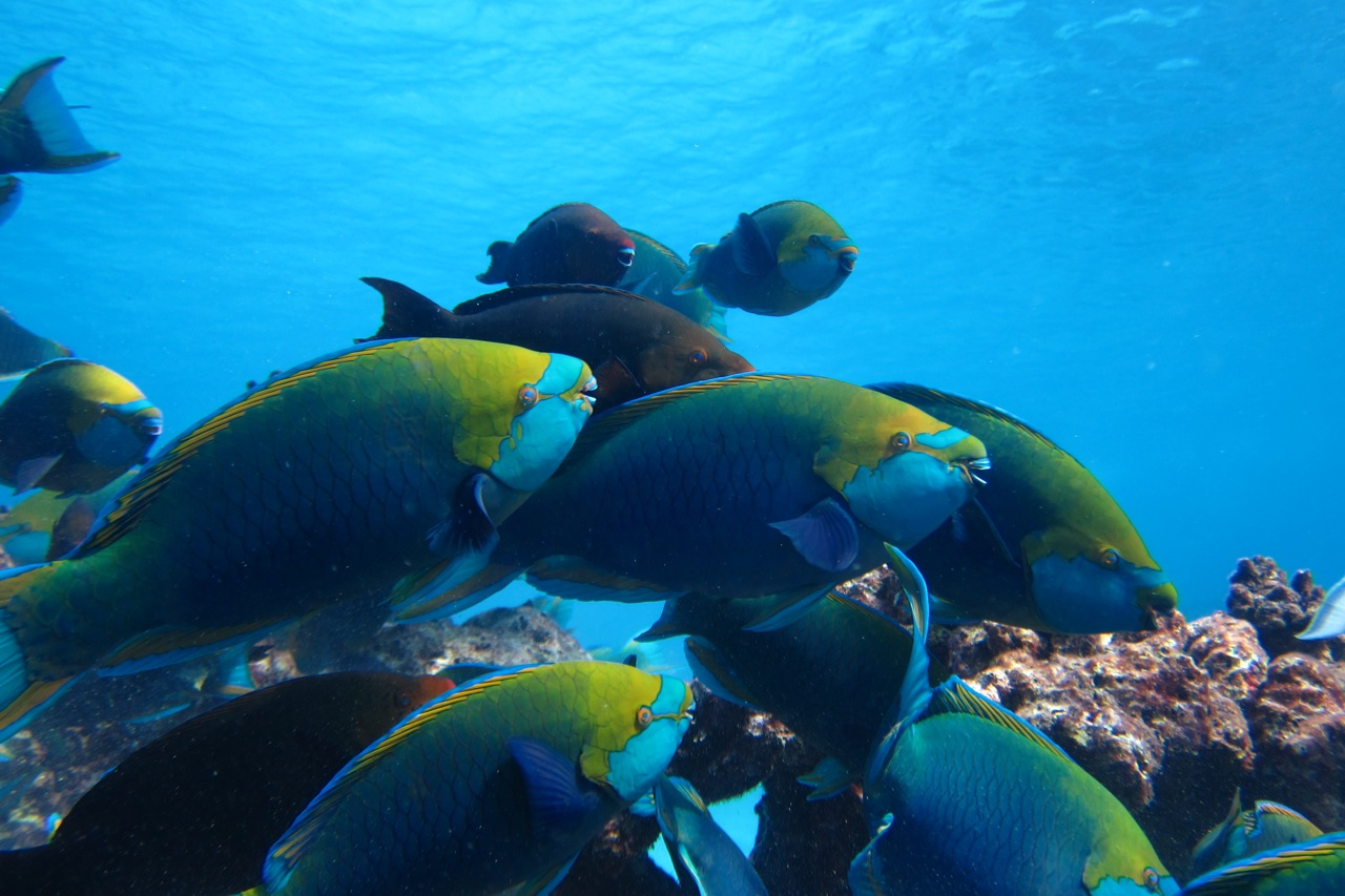 parrotfish abundance similan islands
