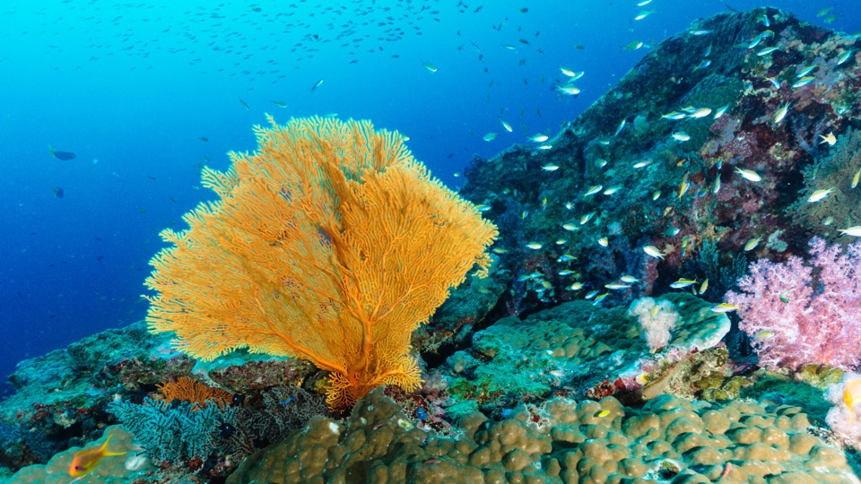 Corals are blooming in the Similan Islands since 2012