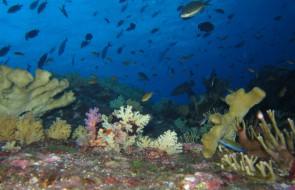Corals on Koh Bon Pinnacle