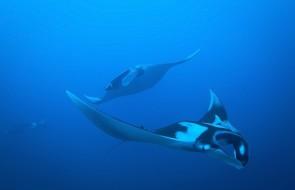 manta rays  at Koh Bon